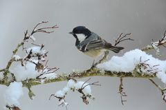 Snowy coal tit on branch. Coal tit on snowy branch on winter garden Royalty Free Stock Photos