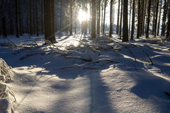 Snowy and cold sunny winter forest Royalty Free Stock Image