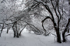 Snowy cold winter forest Royalty Free Stock Photo