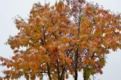 Snowy colourful rowan tree in late arctic circle autumn Royalty Free Stock Photos