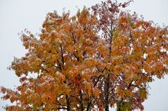 Snowy colourful rowan tree in late arctic circle Royalty Free Stock Photo