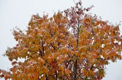 Snowy colourful rowan tree in late arctic circle Royalty Free Stock Images