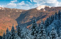 Snowy conifer forest in mountains. Beautiful nature scenery in evening light Stock Images