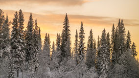 Snowy conifer forest Stock Photos