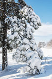 Snowy conifer tree in the winter nature Royalty Free Stock Image
