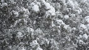 Snowy conifer trees stock footage