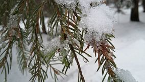 Snowy coniferous branch. Close-up of coniferous branches covered with snow and frozen water droplets, on a background of snow-covered forest stock photos