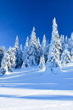 Snowy coniferous trees Stock Photography