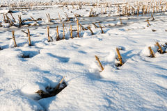 Snowy corn stubble field from close Royalty Free Stock Photography