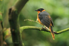 Snowy-crowned robin chat Stock Images