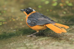 Snowy-crowned robin-chat Royalty Free Stock Photo