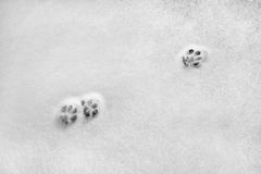 Snowy crust, feline prints trace, white background. Snowy crust, feline prints trace, white background Royalty Free Stock Photo