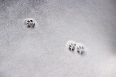 Snowy crust, feline prints trace, white background. Snowy crust, feline prints trace, white background Royalty Free Stock Images
