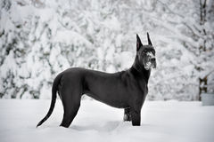 Snowy Dane Royalty Free Stock Photo