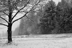 Snowy December afternoon at a meadow in New England. Barren oak tree, snowing, snow-covered field, trees at edge of field Royalty Free Stock Photos