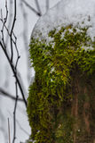 Snowy deciduous tree with lichen Stock Images