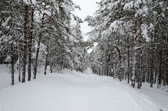 Snowy descent in winter in pine forest in afternoon Stock Photos