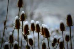 Snowy-Disteln Stockbilder