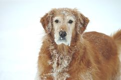 Snowy Dog. A golden retriever stands in the snow royalty free stock photos