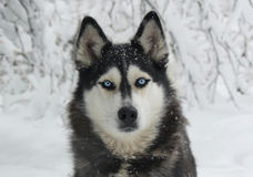 Snowy dog Siberian Husky Royalty Free Stock Photography