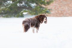 Snowy dog Royalty Free Stock Image
