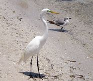 Free Snowy Egret Stock Photography - 105696562