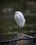 Snowy egret. Standing on a roock by the water Royalty Free Stock Images