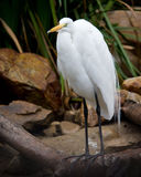 Snowy egret. Standing on a roock by the water Stock Images