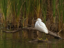 Snowy Egret. Overlooking his pond Royalty Free Stock Image