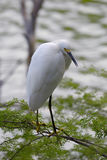 Snowy Egret. Perched on green branch Stock Photos
