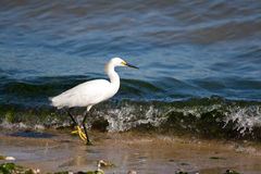 Snowy Egret Stock Photography
