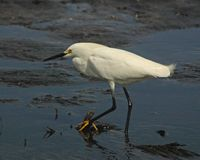 Snowy egret. In shallow water fishing for lunch royalty free stock photo