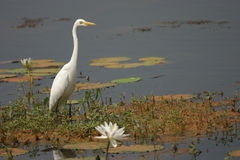 Snowy Egret. In a lake surrounded by lilly leaves Royalty Free Stock Image