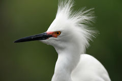 Snowy Egret. Closeup of a Snowy Egret showing a dominance display Stock Photos