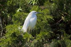 Snowy Egret. (Egretta thula) in the natural habitat, St. Augustin, FL Stock Photo