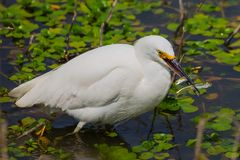 Free Snowy Egret Royalty Free Stock Photography - 145249697