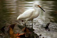 Snowy Egret. (egretta thula) in Marshy pond with reflections stock image