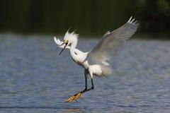 Snowy Egret. Landing, Cartagena Lagoon, Lajas, Puerto Rico Royalty Free Stock Images