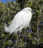 Snowy egret. Lone snowy egret found in a wildlife preserve Royalty Free Stock Image