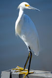 Snowy Egret. Standing tall on the side of the shore Royalty Free Stock Photo