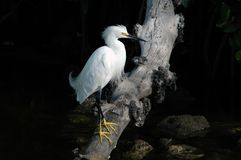 Snowy Egret. Perches on fallen tree over a creek Stock Images