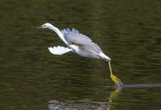 Snowy Egret. Dancing Snowy Egret (Egretta thula stock images