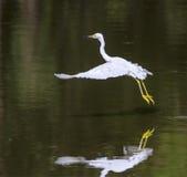 Snowy Egret. Dancing Snowy Egret (Egretta thula stock photos
