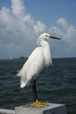 Snowy egret. Standing on a post Royalty Free Stock Image