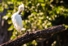 Snowy Egret. The Snowy Egret (Egretta thula) is a small white heron. It is the American counterpart to the very similar Old World Little Egret, which has stock photos