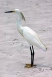 Snowy Egret. Madeira Beach Florida Stock Photo