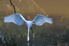 Snowy Egret. Hunting fish in marshland Stock Photo