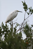 Snowy Egret. Egretta thula - Perched on a tree royalty free stock images