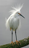 Snowy Egret. A snowy egret displays its feathers during a mating ritual Stock Photography