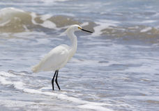 Snowy Egret. A snowy egret at the seashore royalty free stock photography